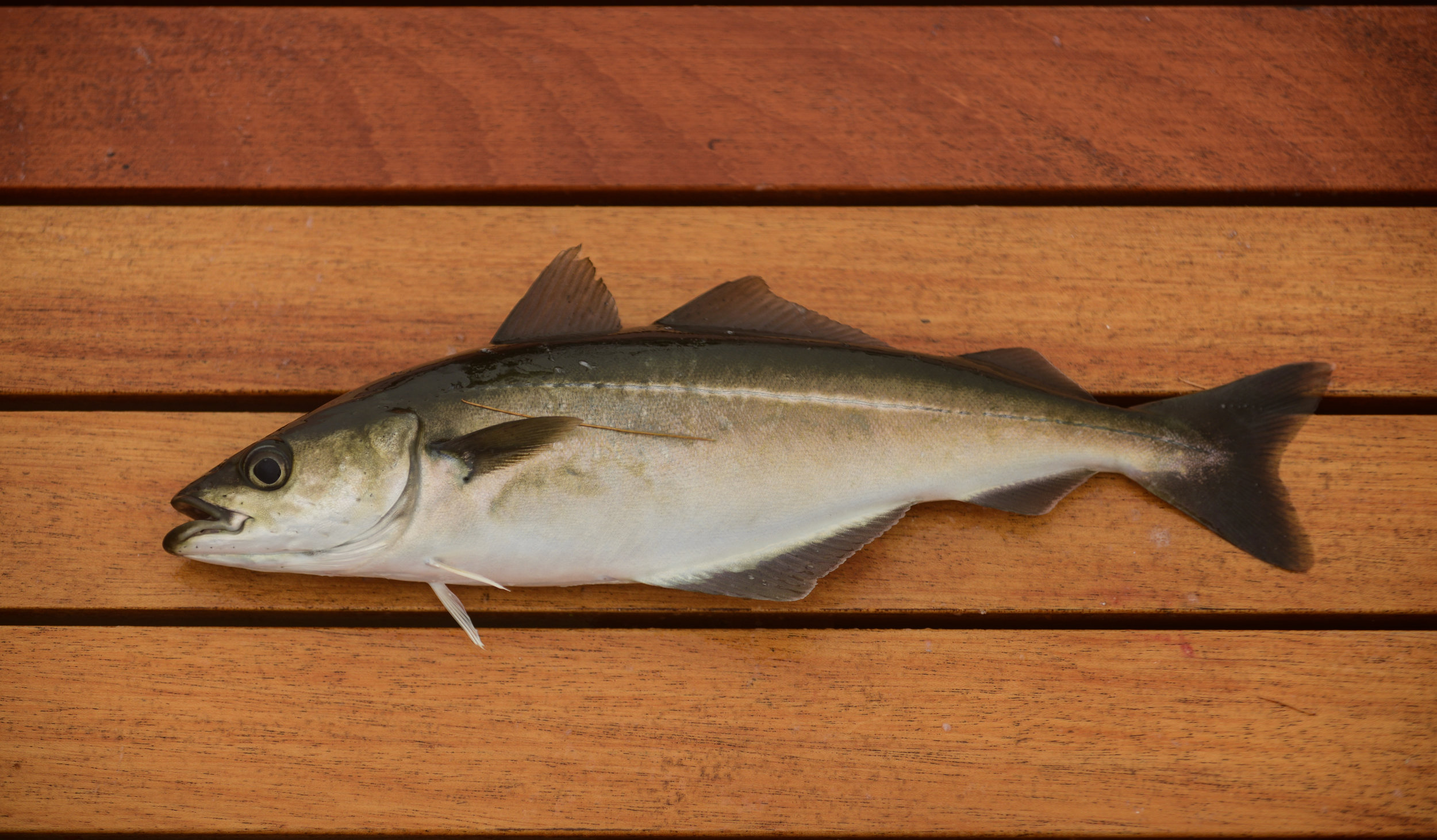 Juvenile pollock are scattered along our coast and make a great meal for a hungry striper.