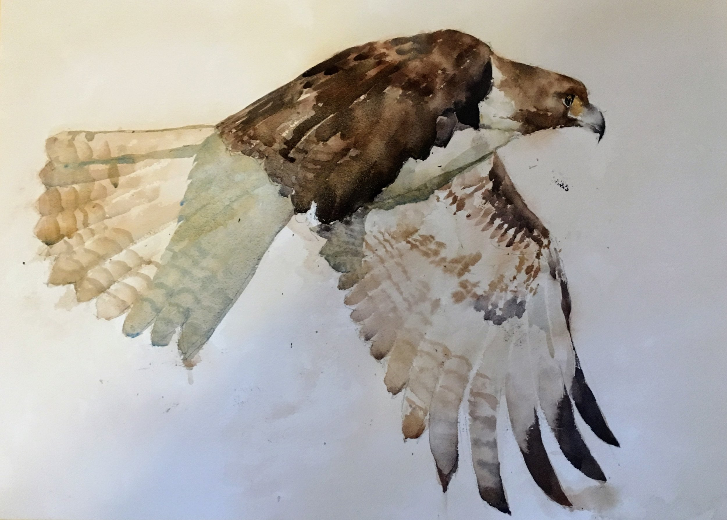 "Hawk. Michele Clamp. Watercolor 16""x20"""