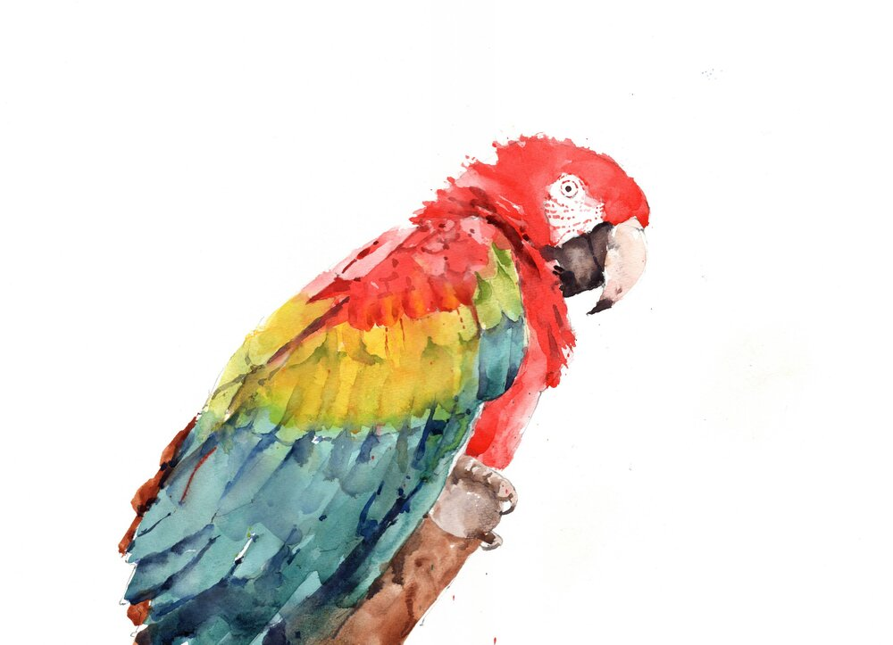 "Macaw. Michele Clamp. Watercolor. 11""x14"