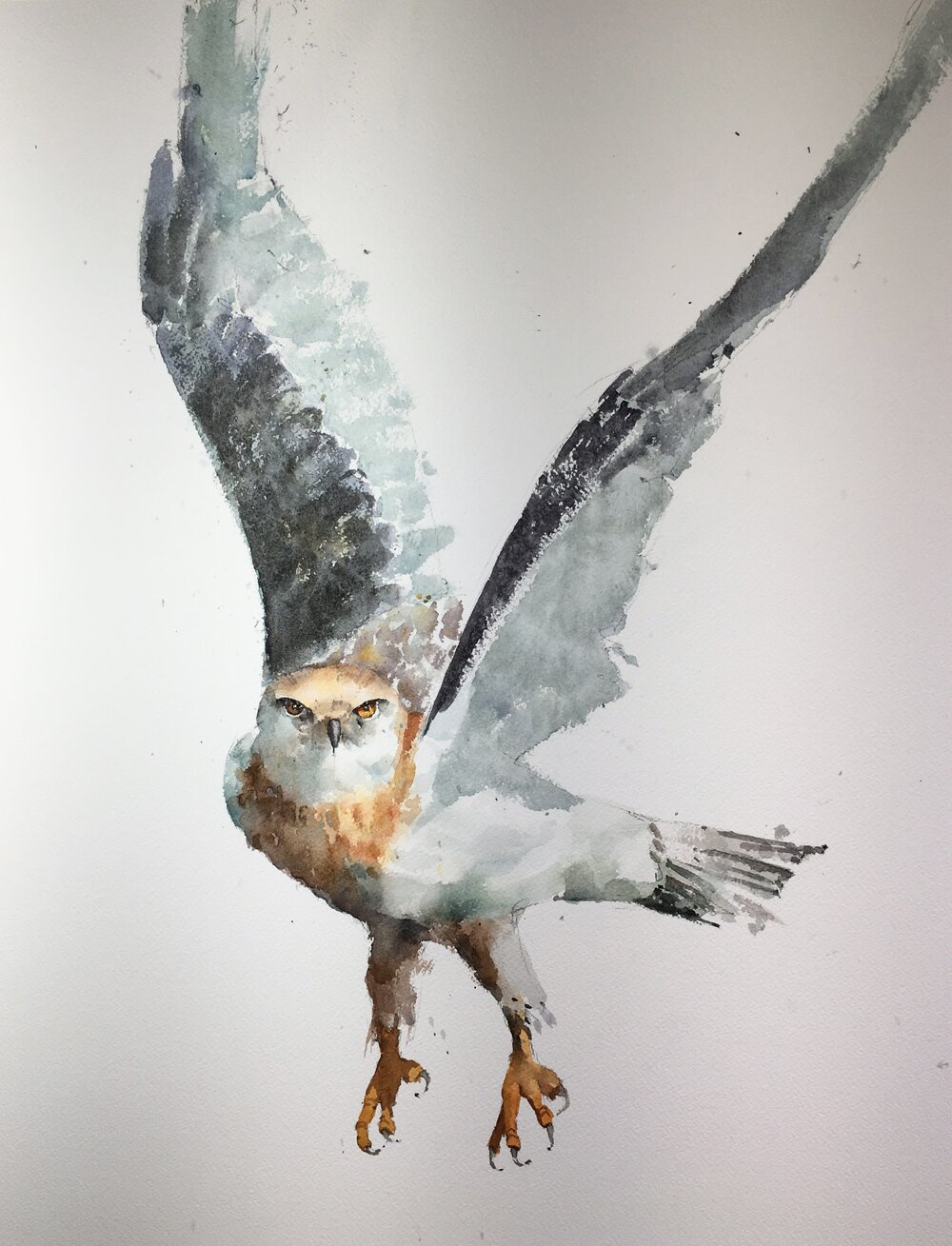 Black-Shouldered Kite.  Michele Clamp.  Watercolor
