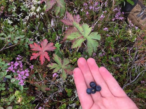 Icelandic Bilberries