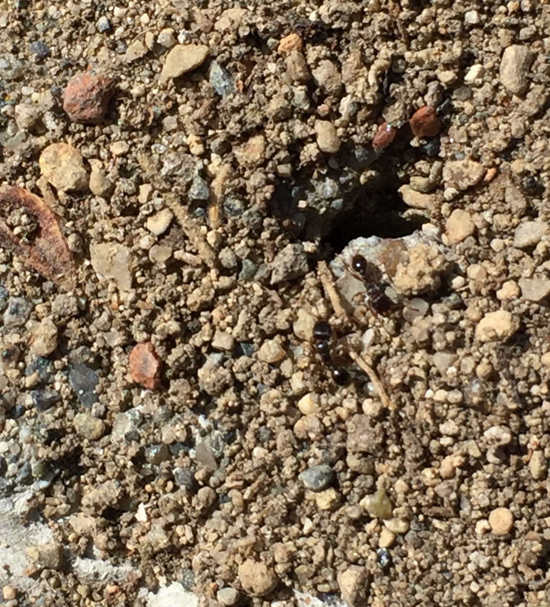 Pavement ants on their patio mound