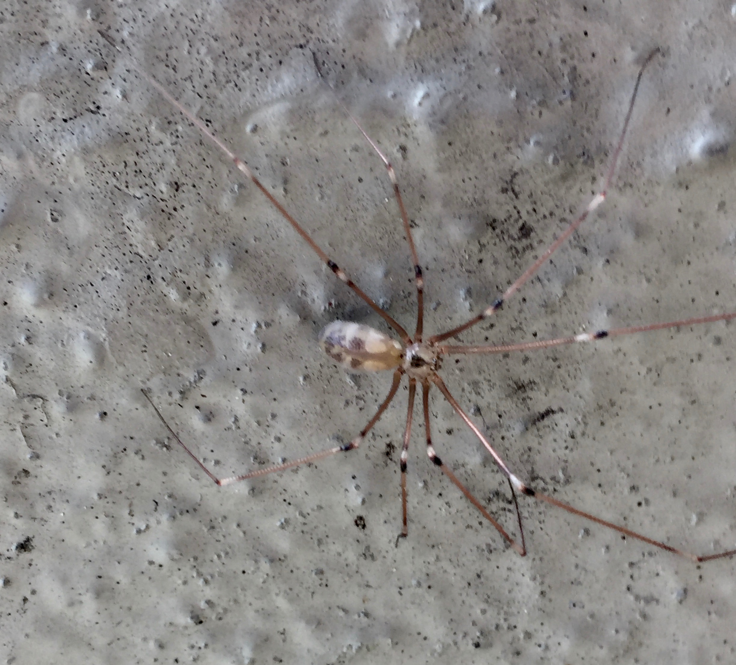 Cellar spider, Pholcus phalangioides