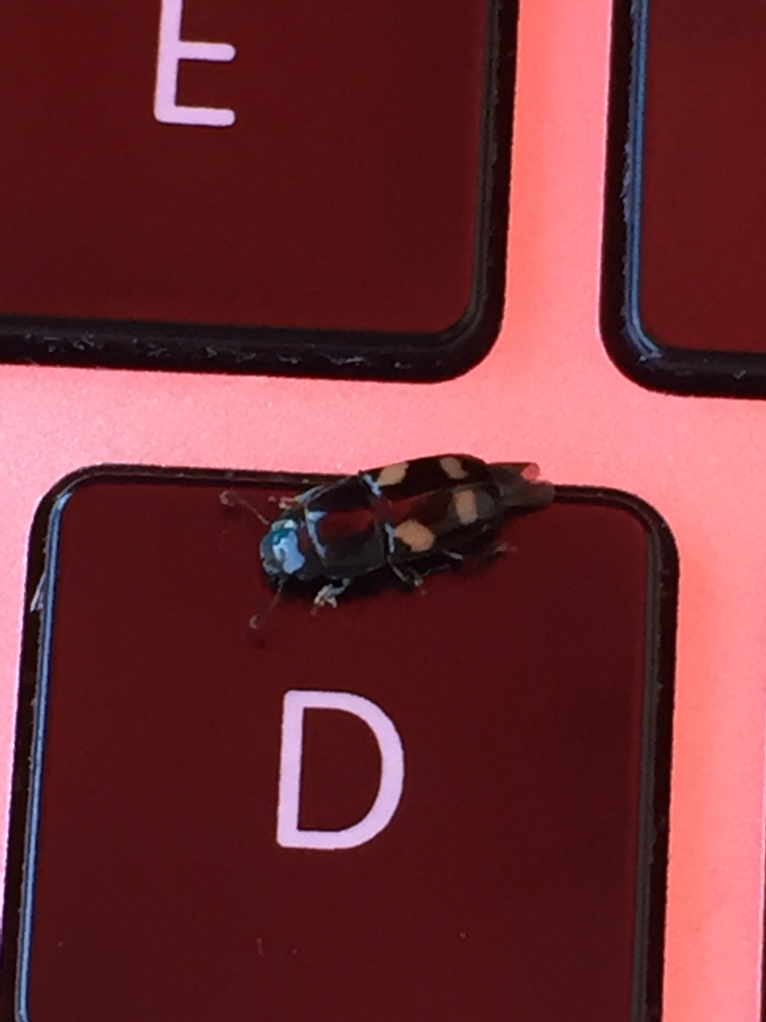 Picnic beetle on the D key