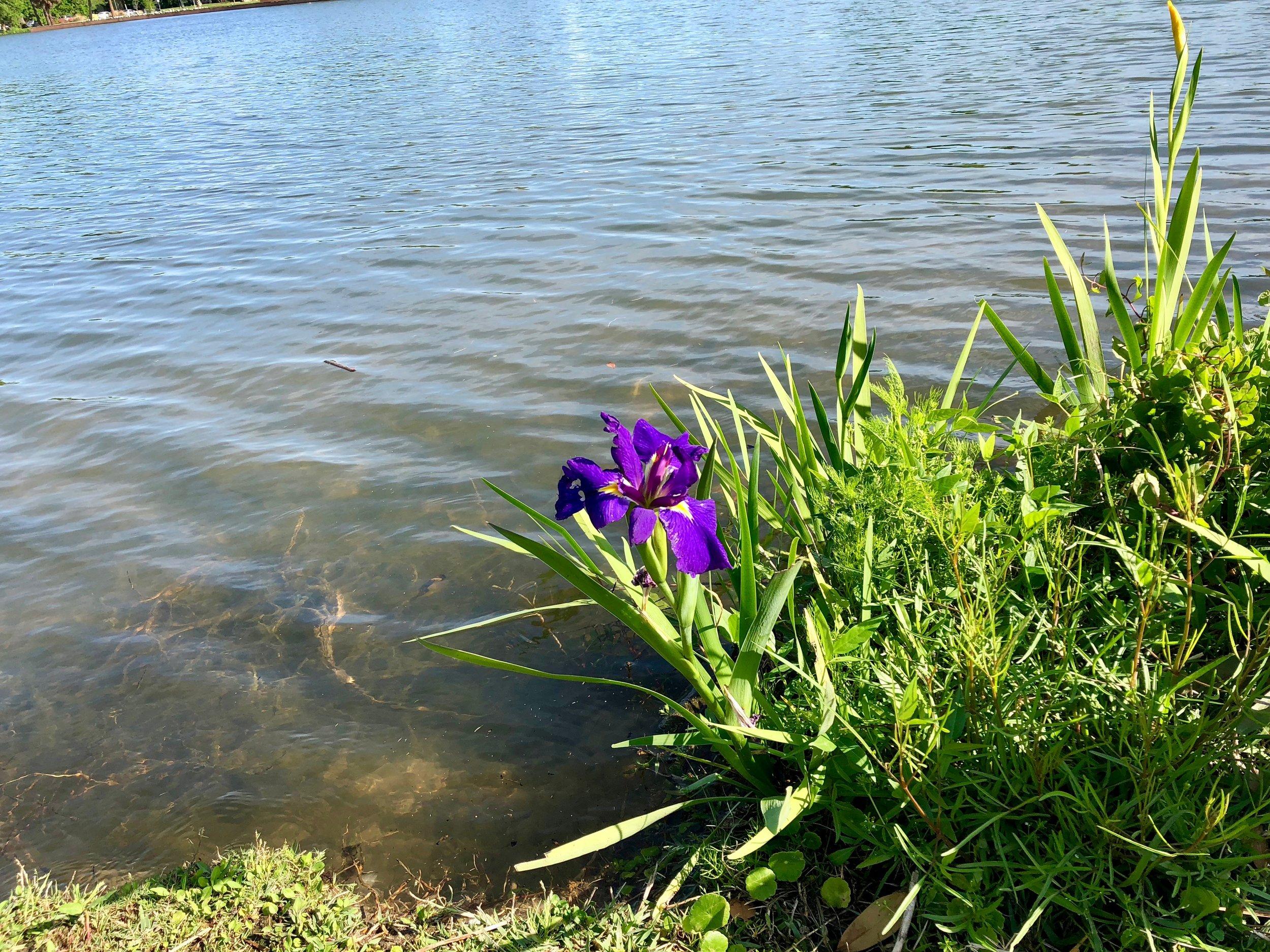Iris in City Park: Esplanade Dreams