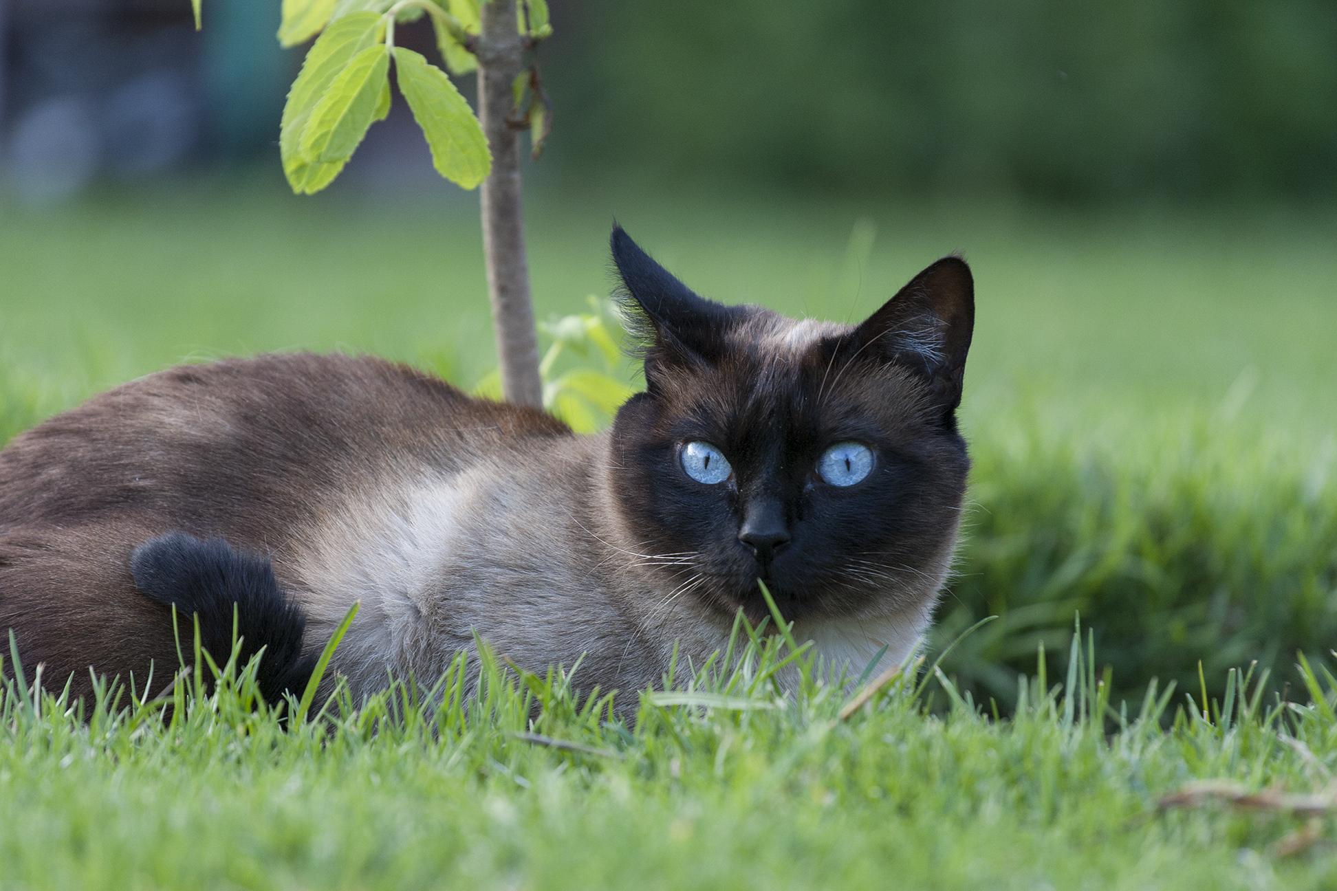 Tika, The Mysterious Medicine Woman Cat