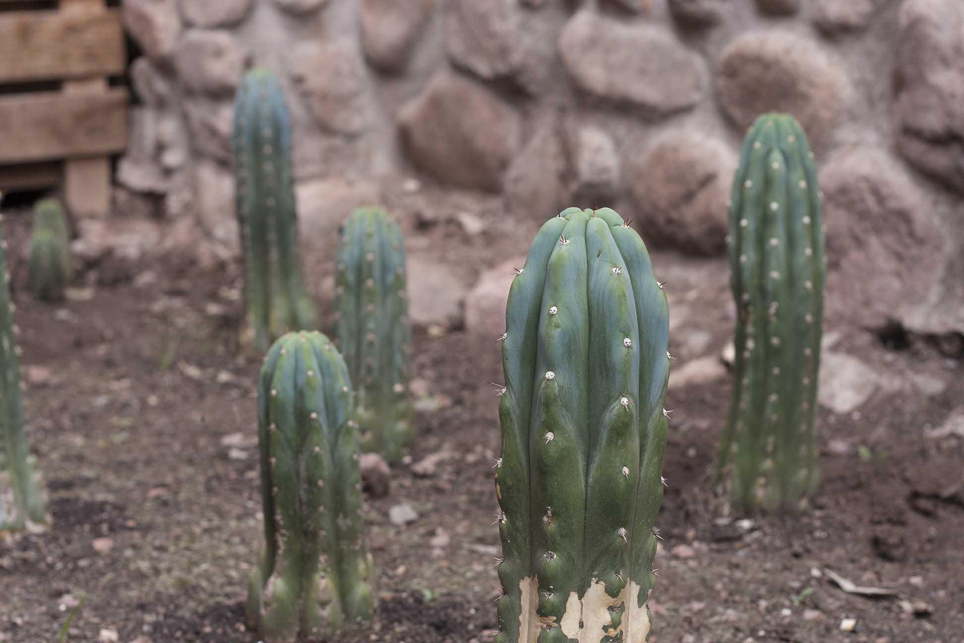 San Pedro cactuses in our garden