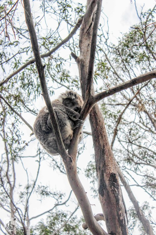 Mamma Knows South - Koala Conservation Centre Rhyll Phillip Island