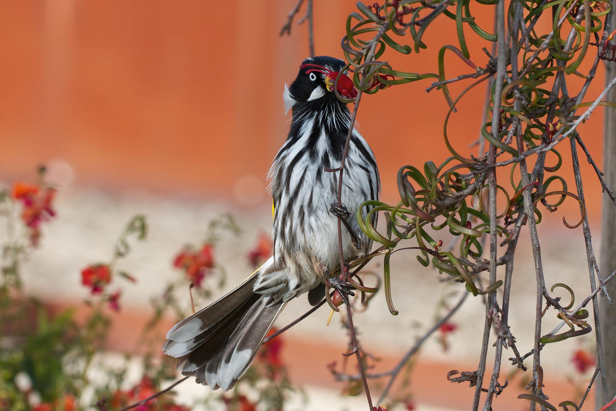 Birds in the Australian Garden - lo res - credit Amy Akers.jpg