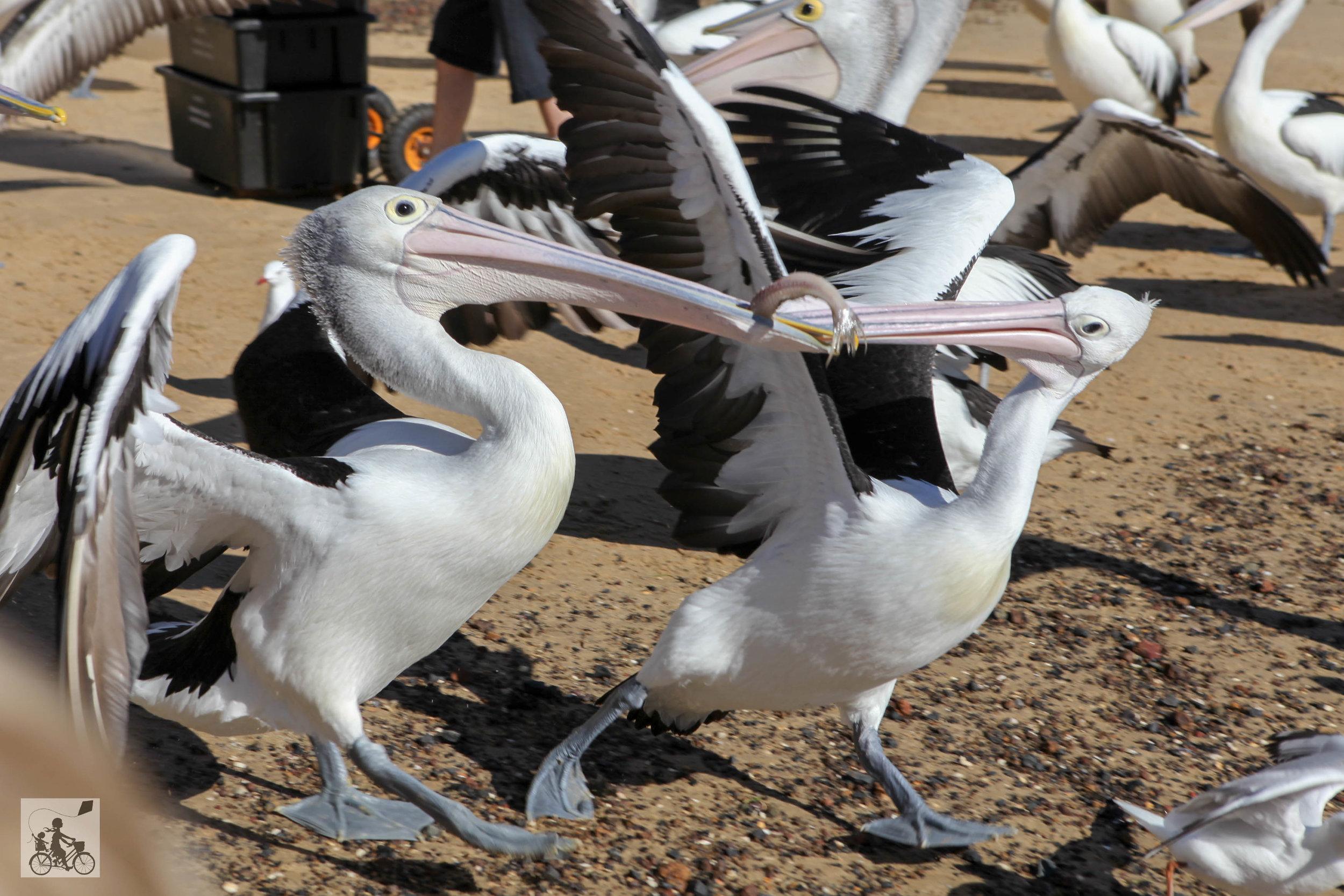 Mamma Knows South - pelican feeding san remo