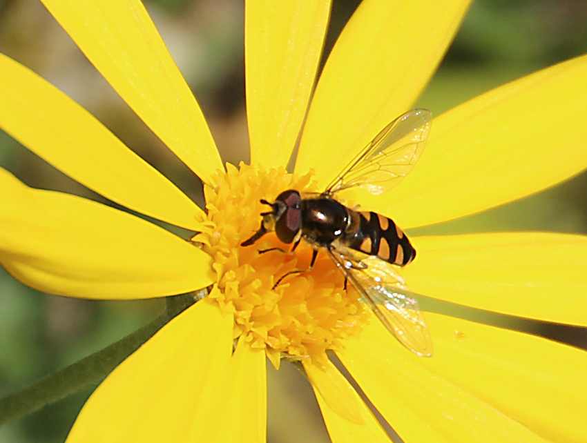 Hoverflies will help plant life and control aphids.
