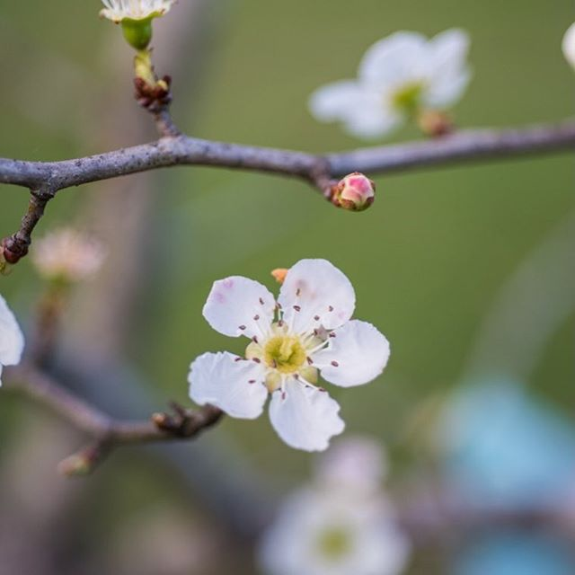 With the days of May officially coming to an end, we're celebrating the arrival of local mayhaws  @congareeandpenn ! These delicate blossoms have now given way to a mayhaw fruit harvest but this little flower is an important part of the process— and we can't wait to taste the yummy results of nature's labor. #jellyfordays #farmcider #southernfoodways