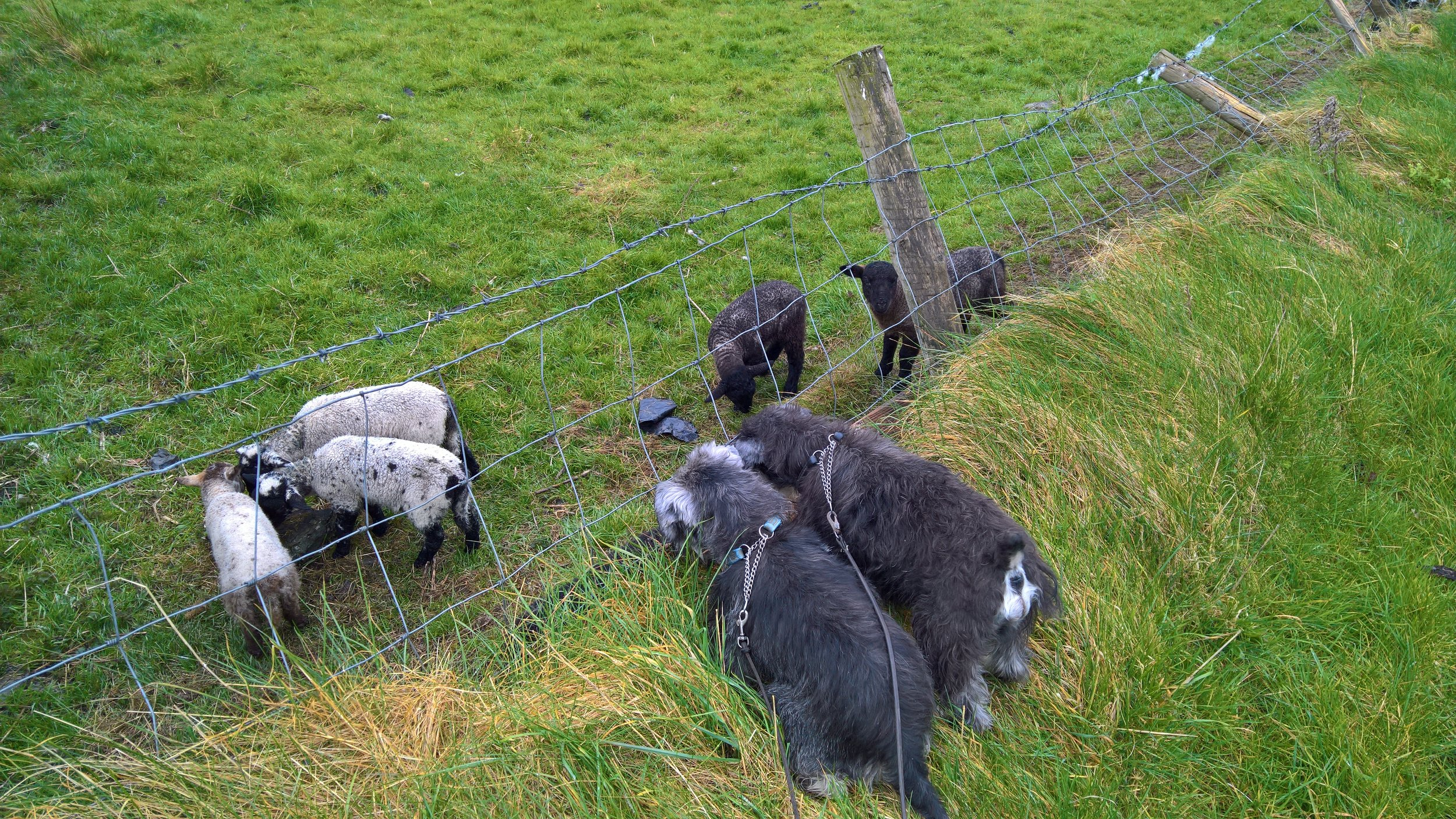 Dexter - the pepper and salt (or grey) one on the left with a tail - loves all animals. Here he and Toby are trying to make friends with lambs.