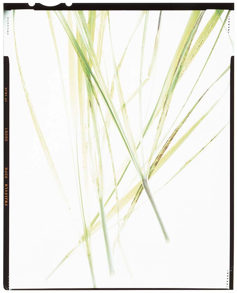"Cymbopogon citratus ""lemongrass"""