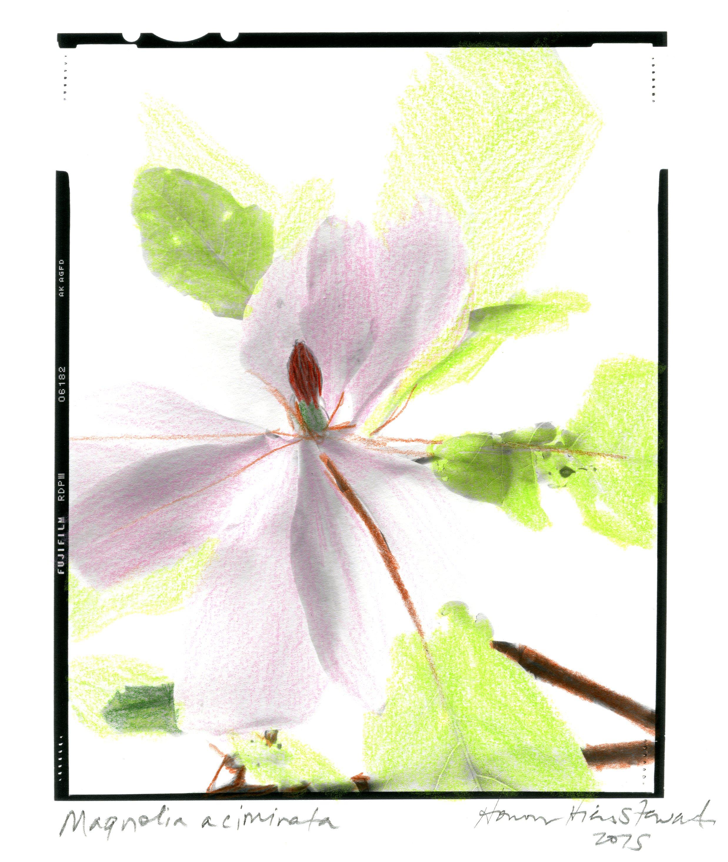 Magnolia acuminata Honour Stewart 2015020.jpg