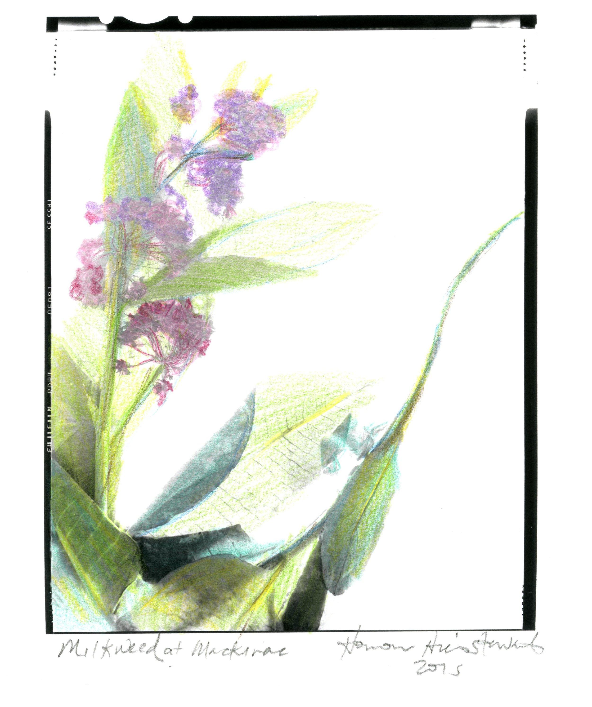 Milkweed Honour Stewart 2015041.jpg