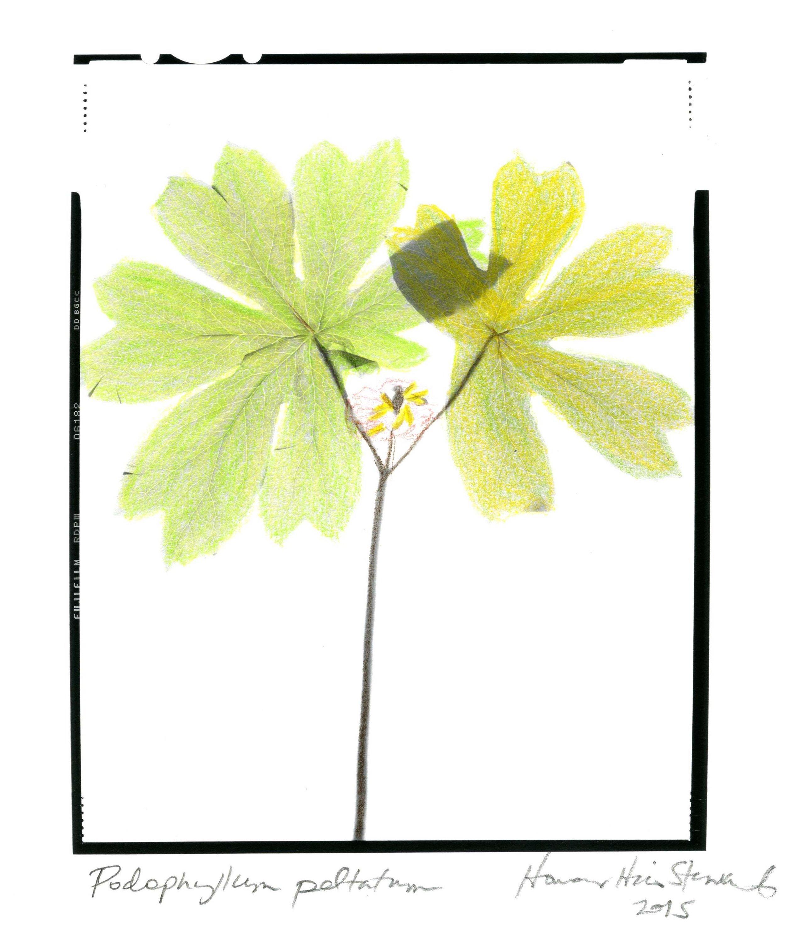 Podophyllum peltatum Honour Stewart 2015036.jpg
