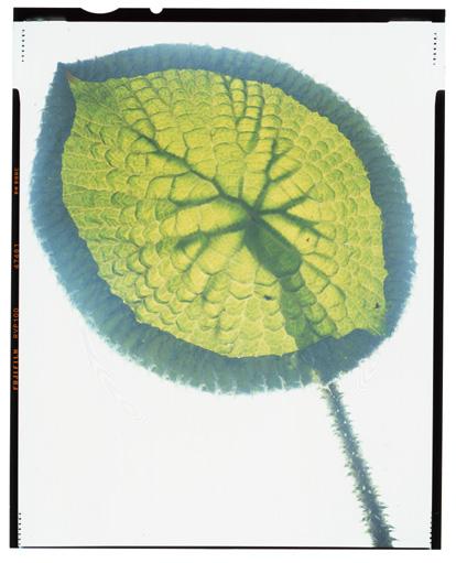 HHStewartvictoria lily001.jpg