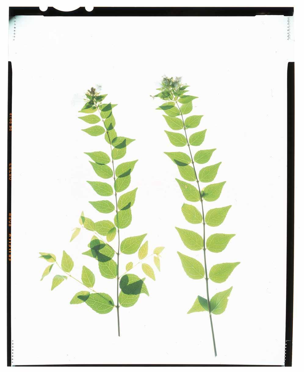 Abelia grandiflora Honour Hiers Stewart 2013.jpg