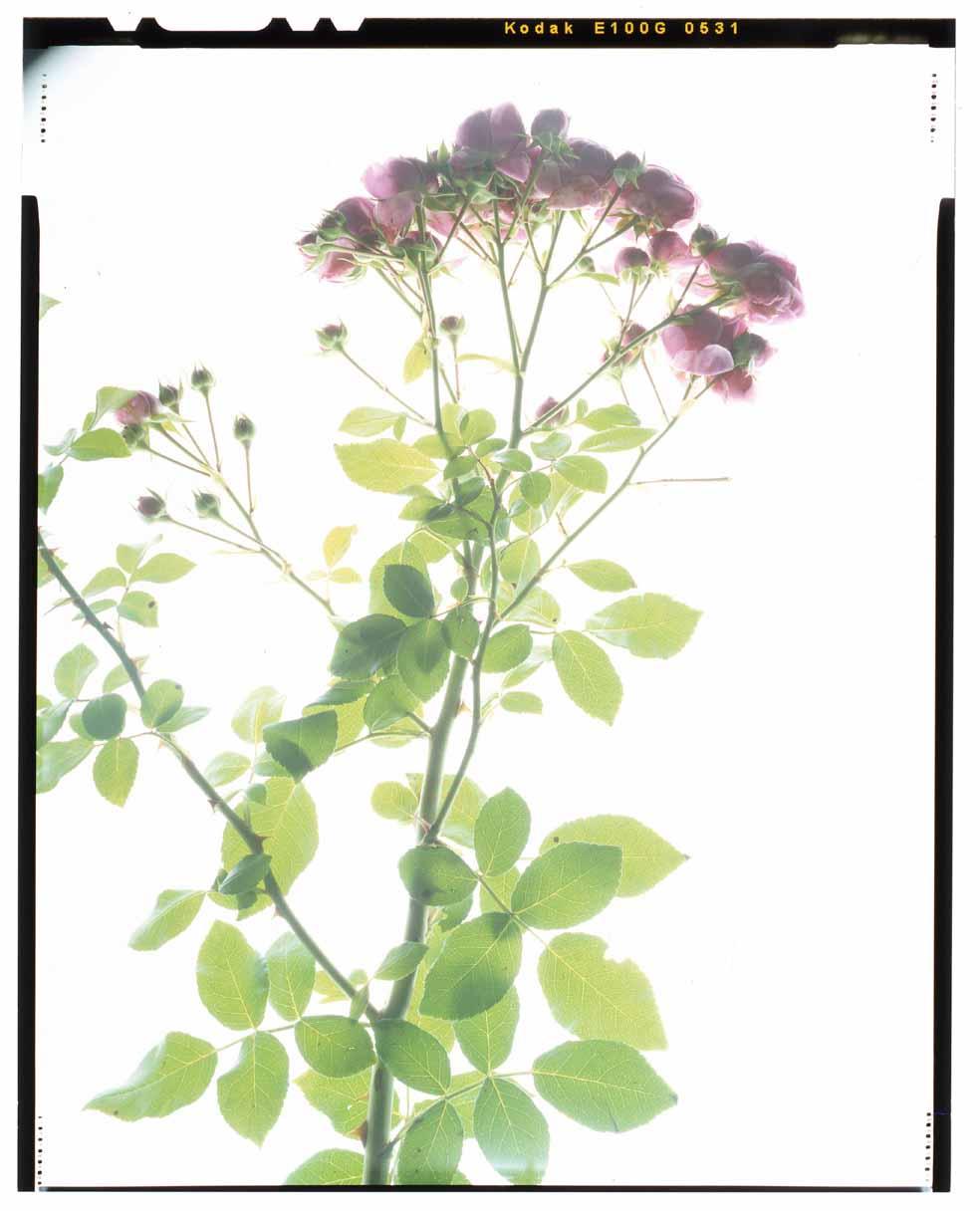 FloribundaPomponellaFairytaleWKordesSohne2005 Honour Hiers Stewart 2013.jpg