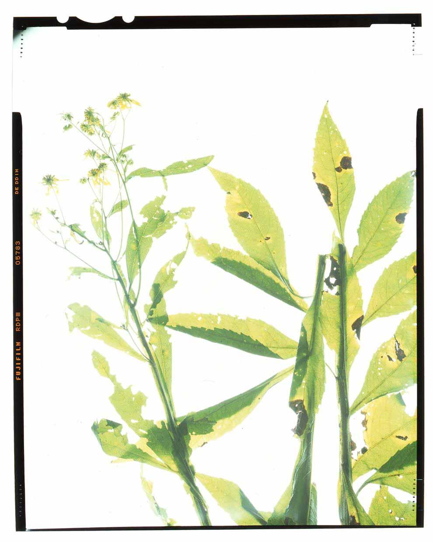 Verbesina alternifolia Honour Hiers Stewart 2013.jpg