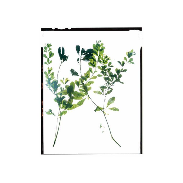 Baptisia australis HHS.jpg