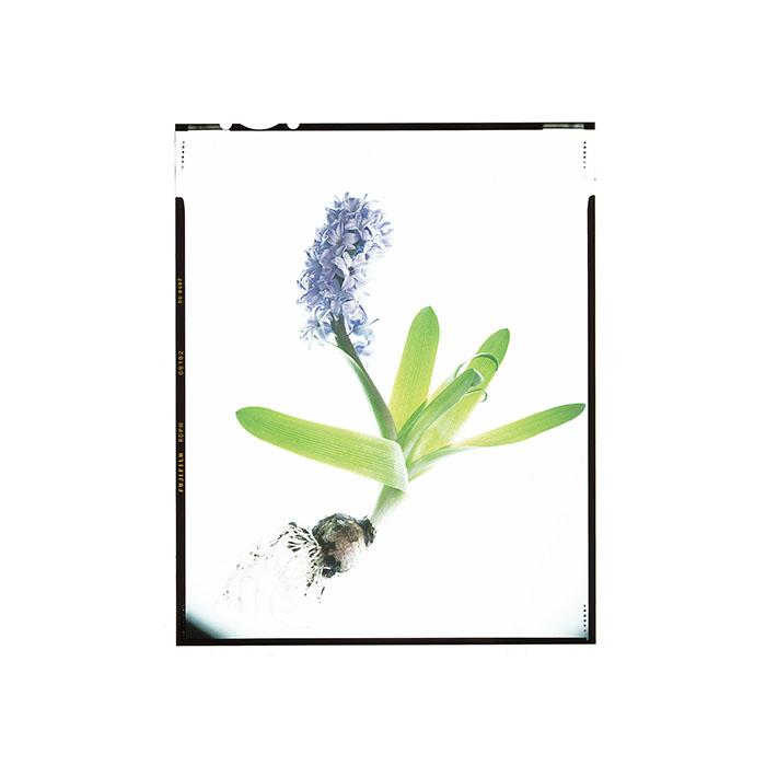 Hyacinthus orientalis Honour Hiers Stewart.jpg