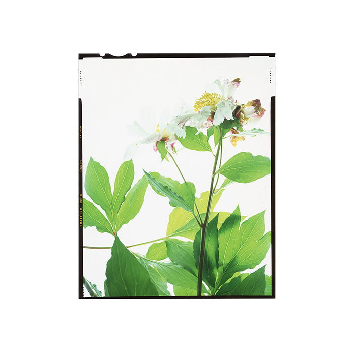 Paeonia sp. HHS.jpg