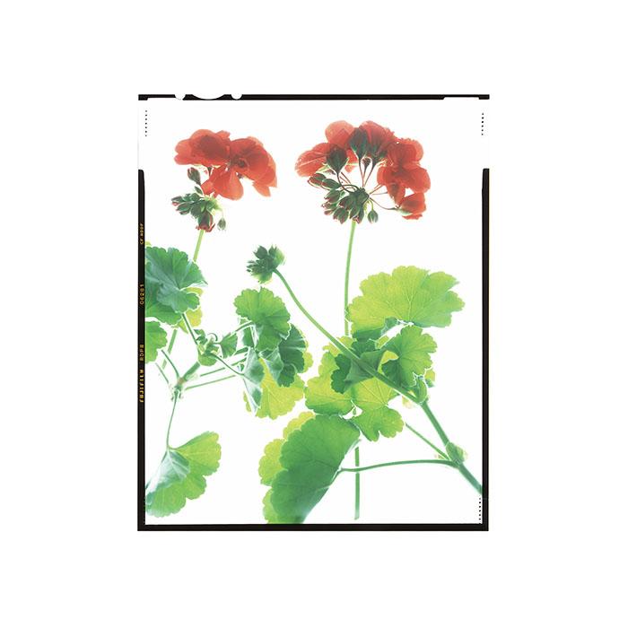 Pelargonium hortorum 'Americana Dark Red' Honour Hiers Stewart 2017.jpg