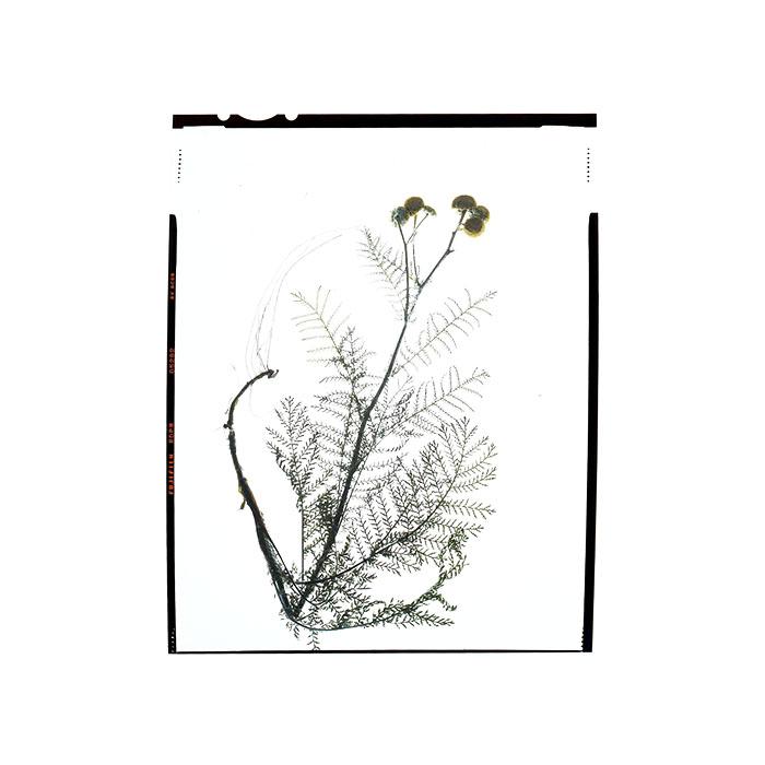 Tanacetum vulgare HHS.jpg