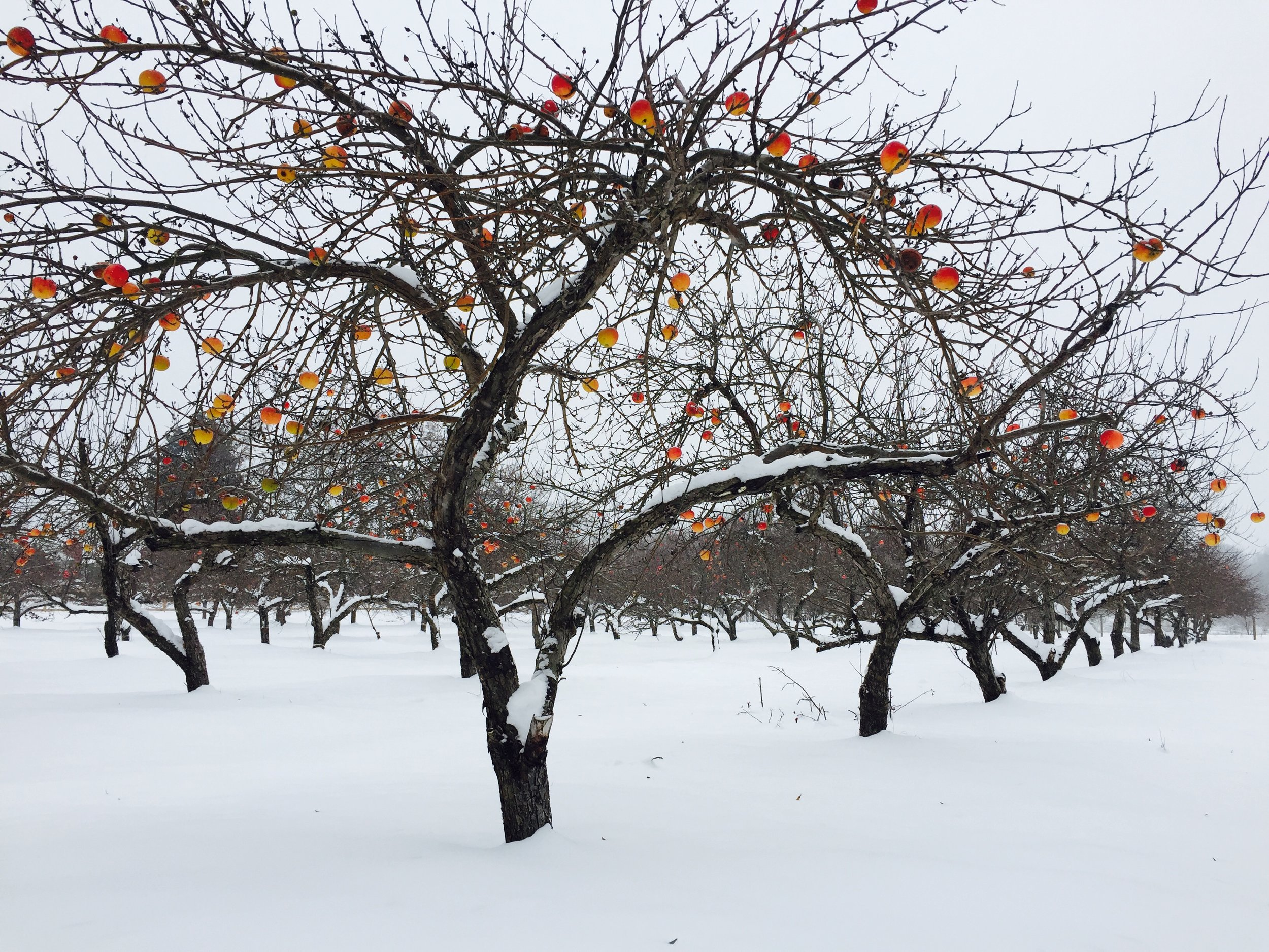 Our apple orchard in winter 2016.