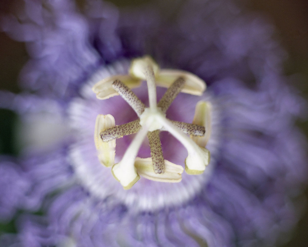 Honour Stewart Passiflora incarnata 2019.jpg