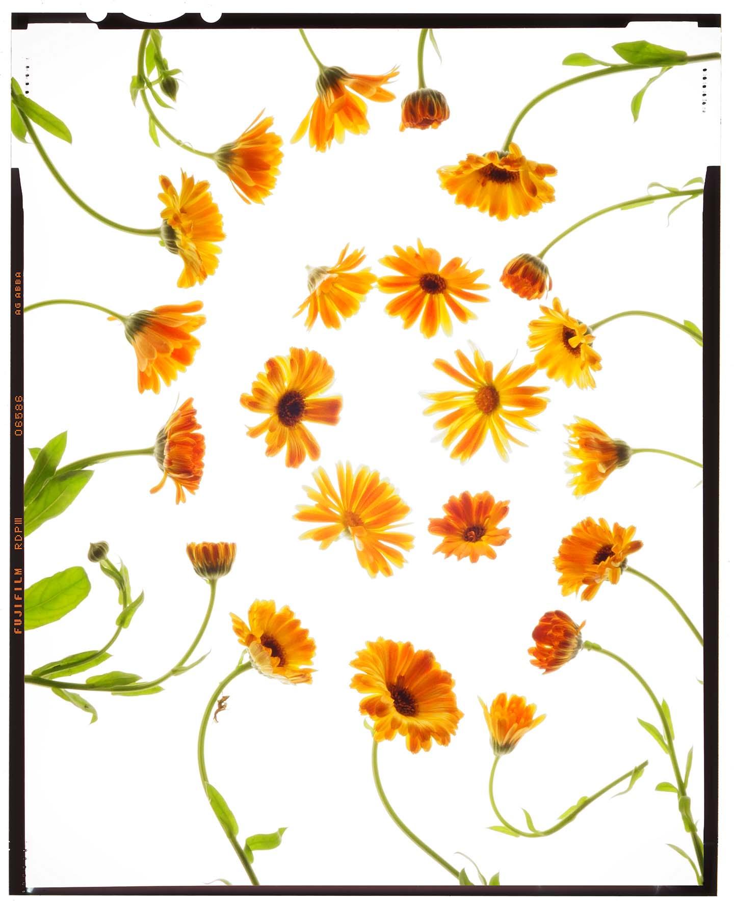 "Calendula officinalis ""calendula"""