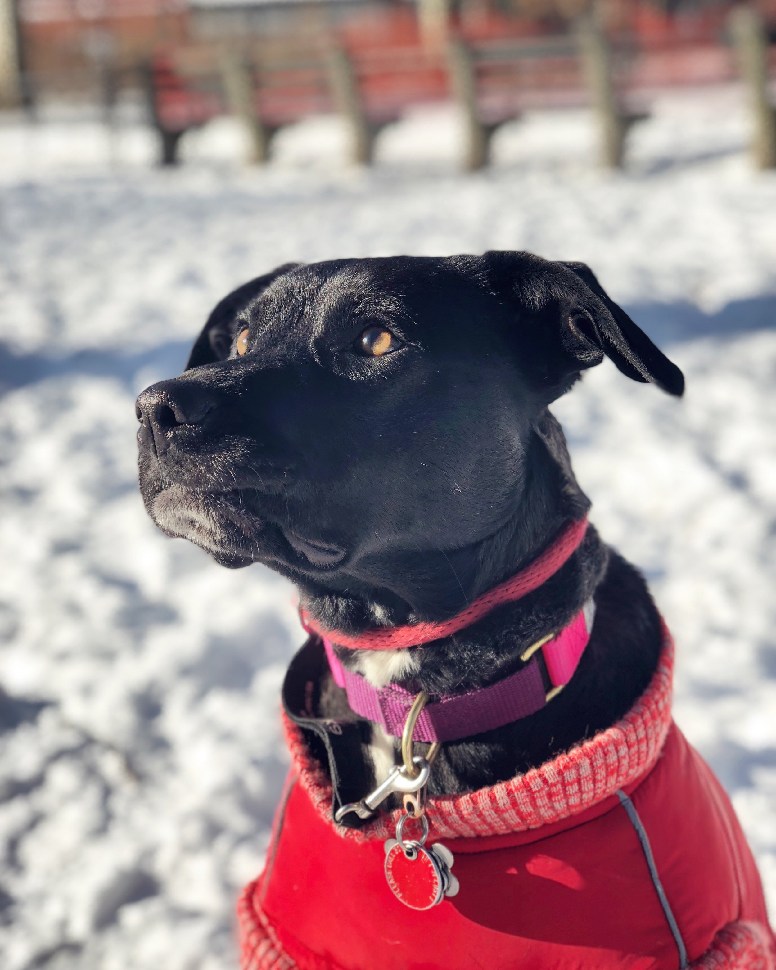 Cooper modeling her DogoPet coat and staying cozy!