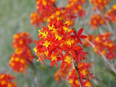 Epidendrum ibaguensee