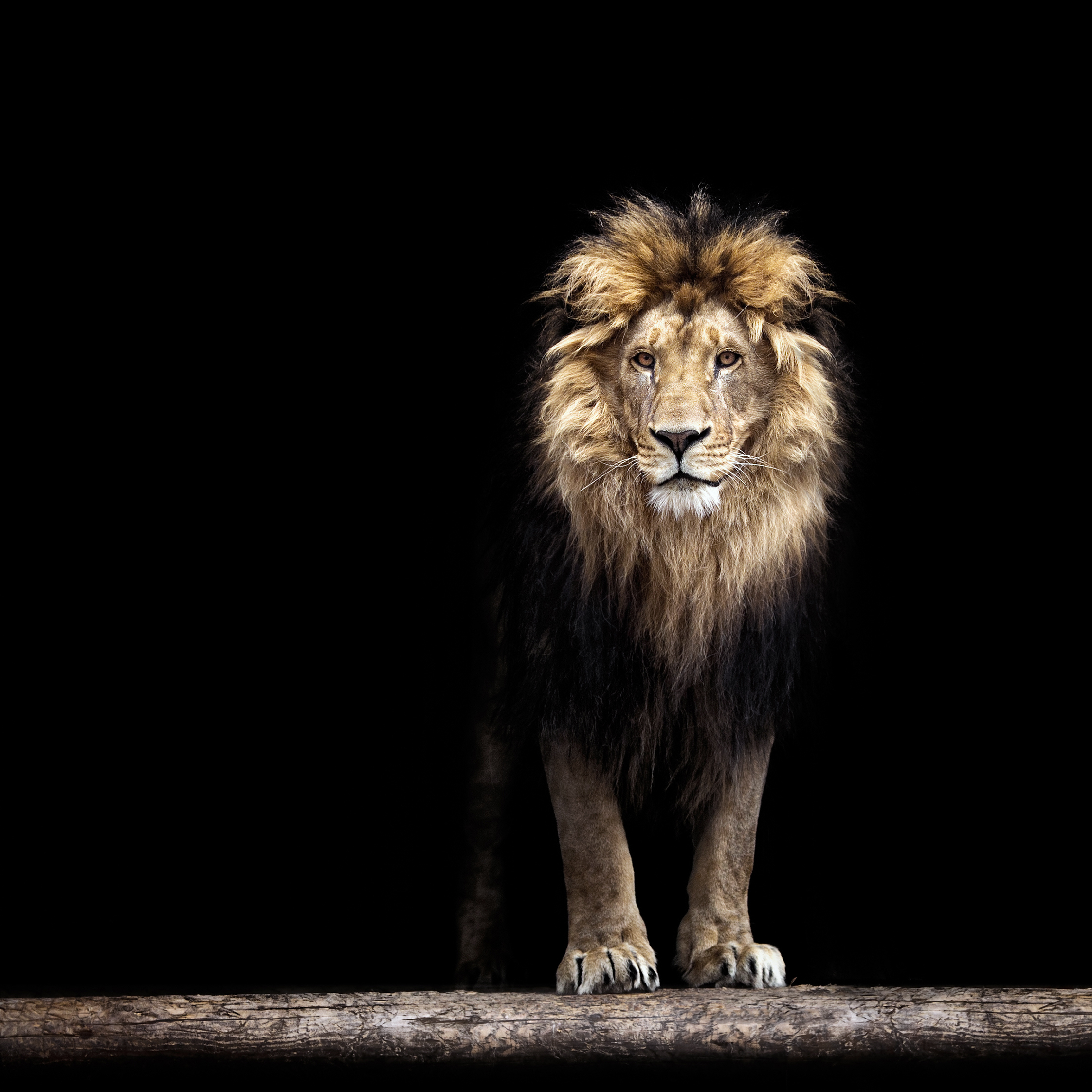 The female lion is our spirit animal. But ask us about the male lion's mane.