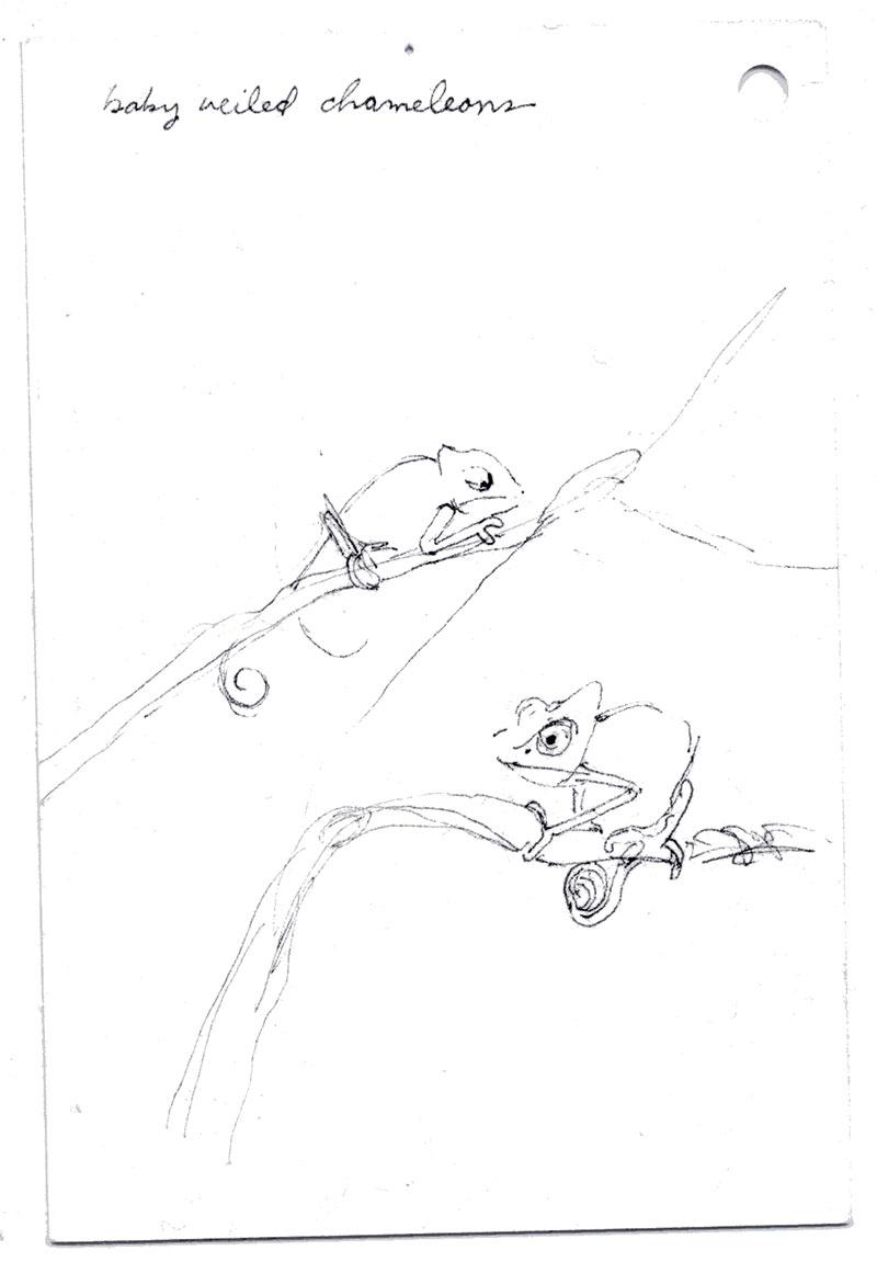 coco-connolly-baby-veiled-chameleons.jpg
