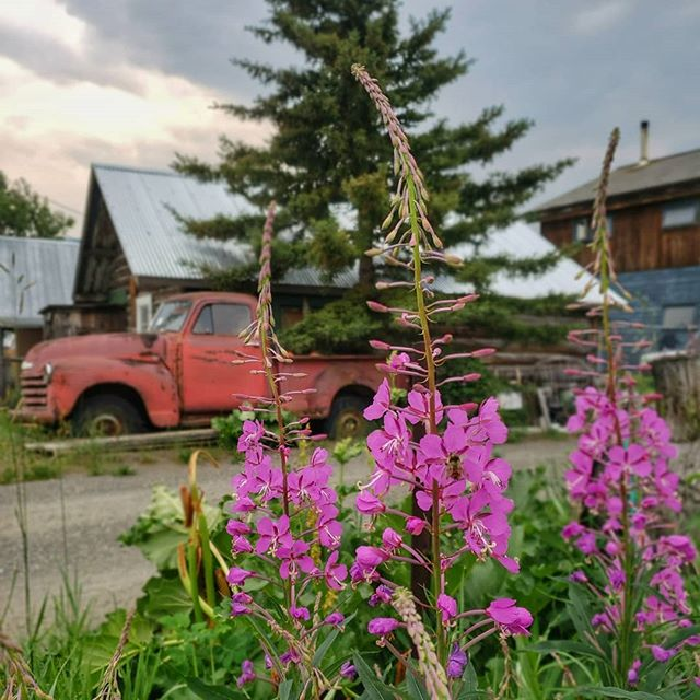 || Fireweed Friday || ➡️ Swipe for another shot and see how they turned out on wood!! These images captured last week turned out super well as wood prints. They are both available in a few sizes until they sell out @destinationcarcross Commons right beside the Bistro