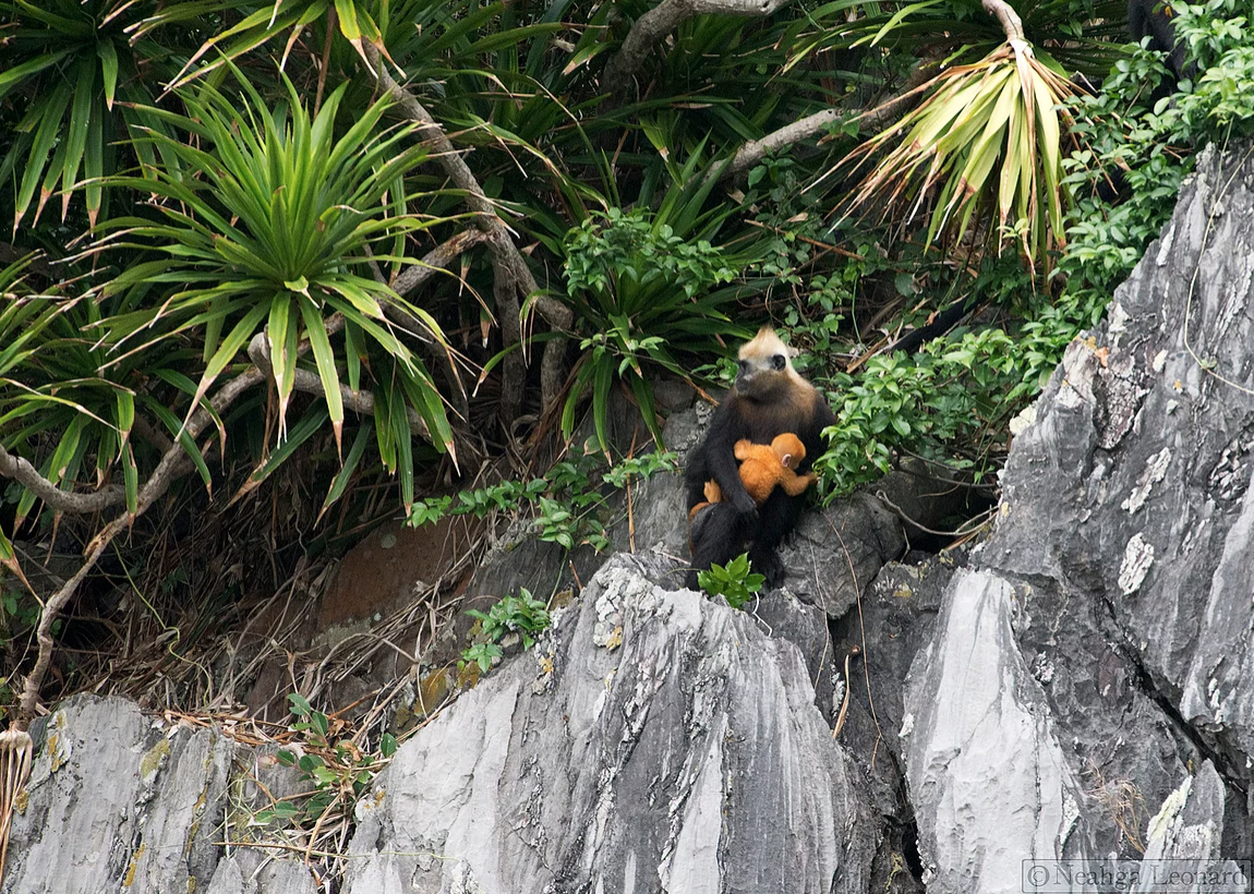 One Planet Rating advocates for protecting the beauty of nature for future generations by practicing responsible tourism today. Learn about how the  critically low population of Cat Ba Langurs in Vietnam  is affected by tourism on the OPR blog.