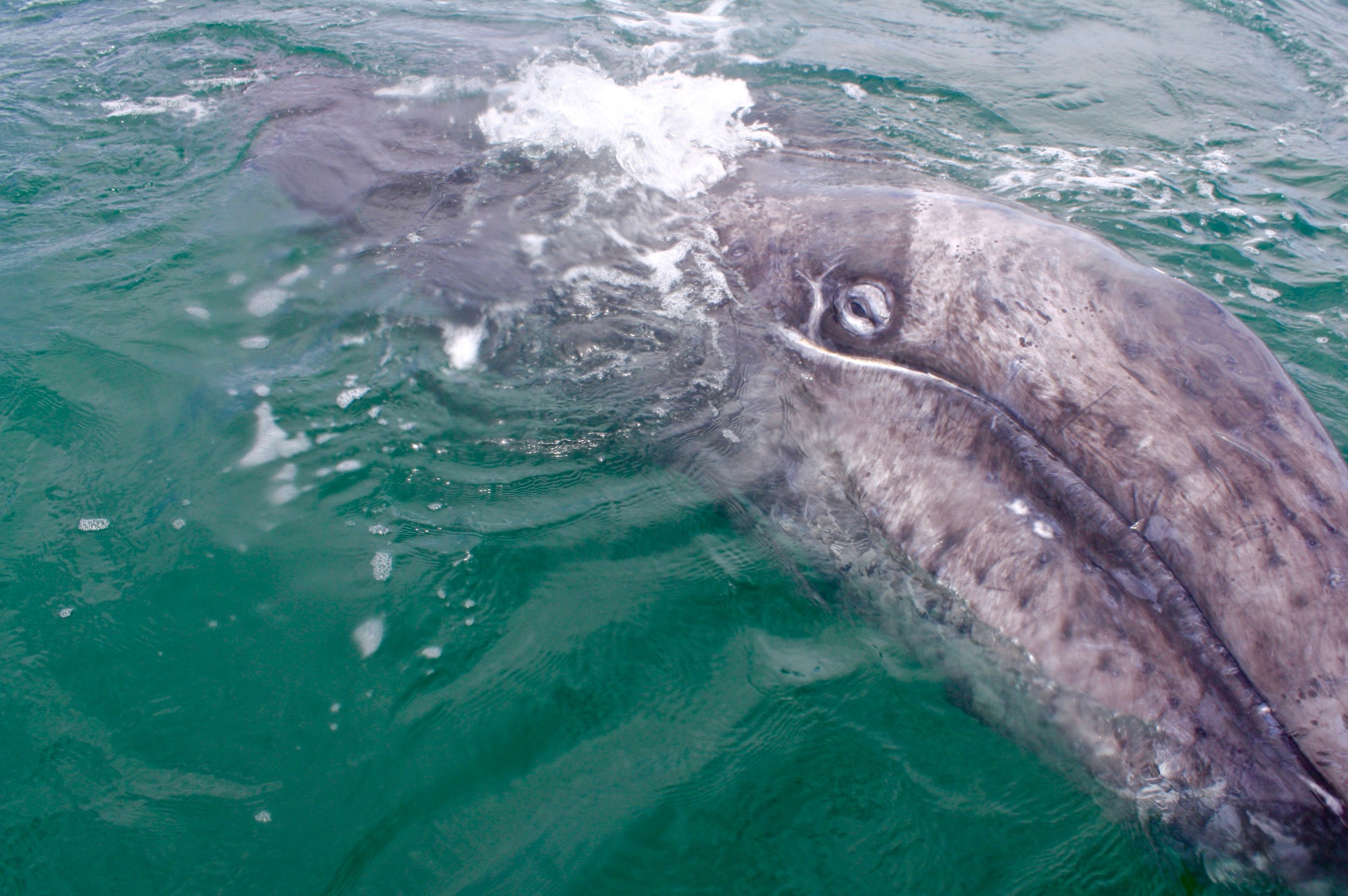 Grey whales in Baja California. Responsible ecotourism in Mexico. Learn more on The Uprooted Rose travel blog.