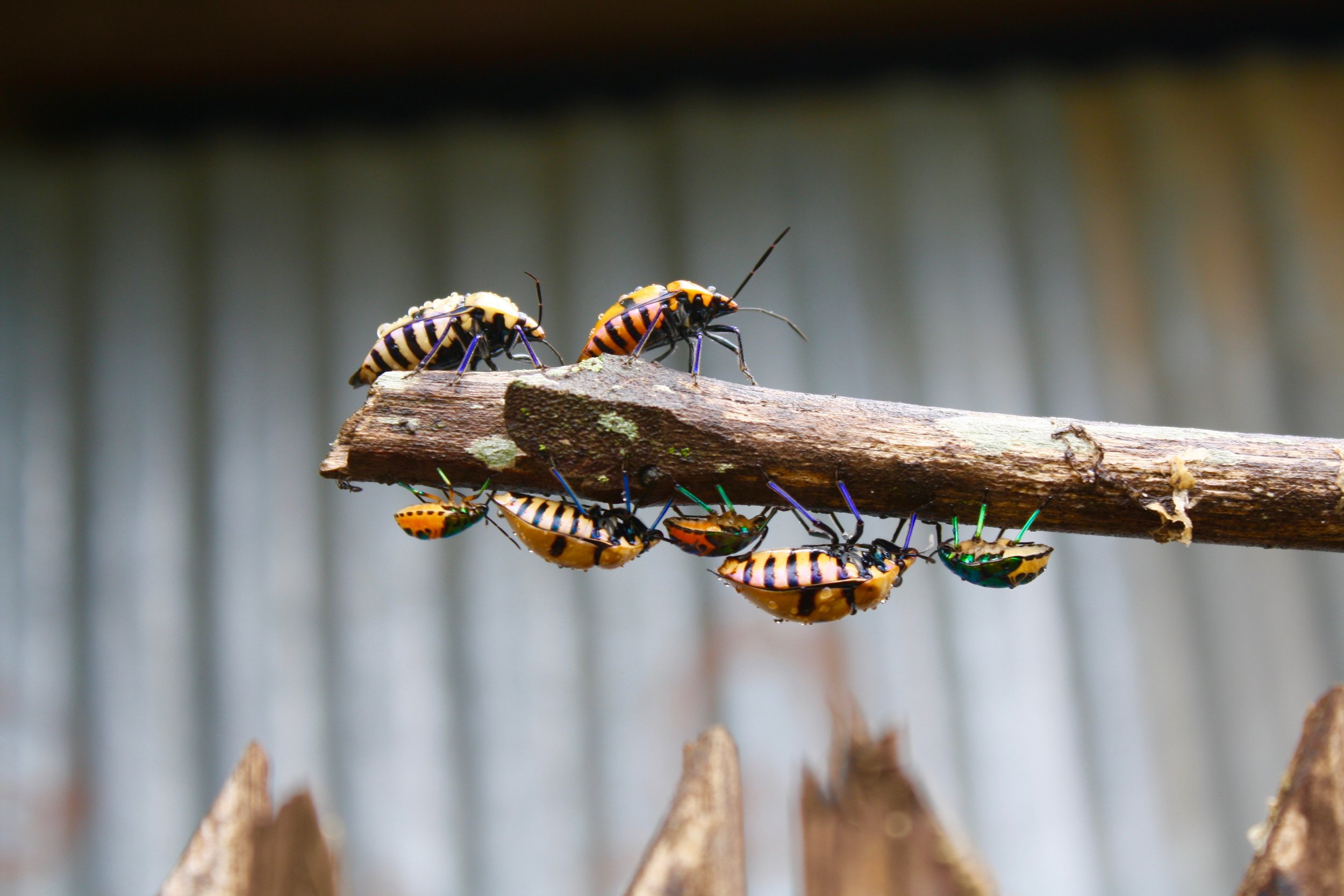 Rainbow beetles near Inlay lake in Myanmar. Travel photography from Burma.