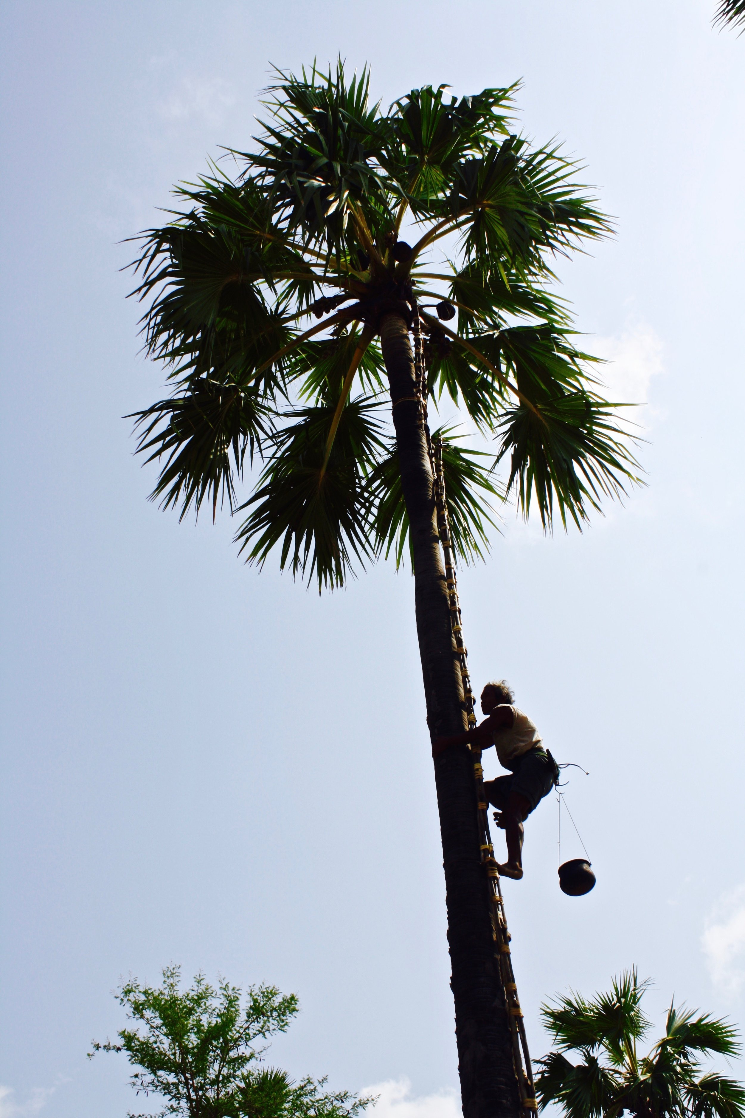 This 60 year-old toddy palm farmer easily scales up trees to get the toddy fruit.