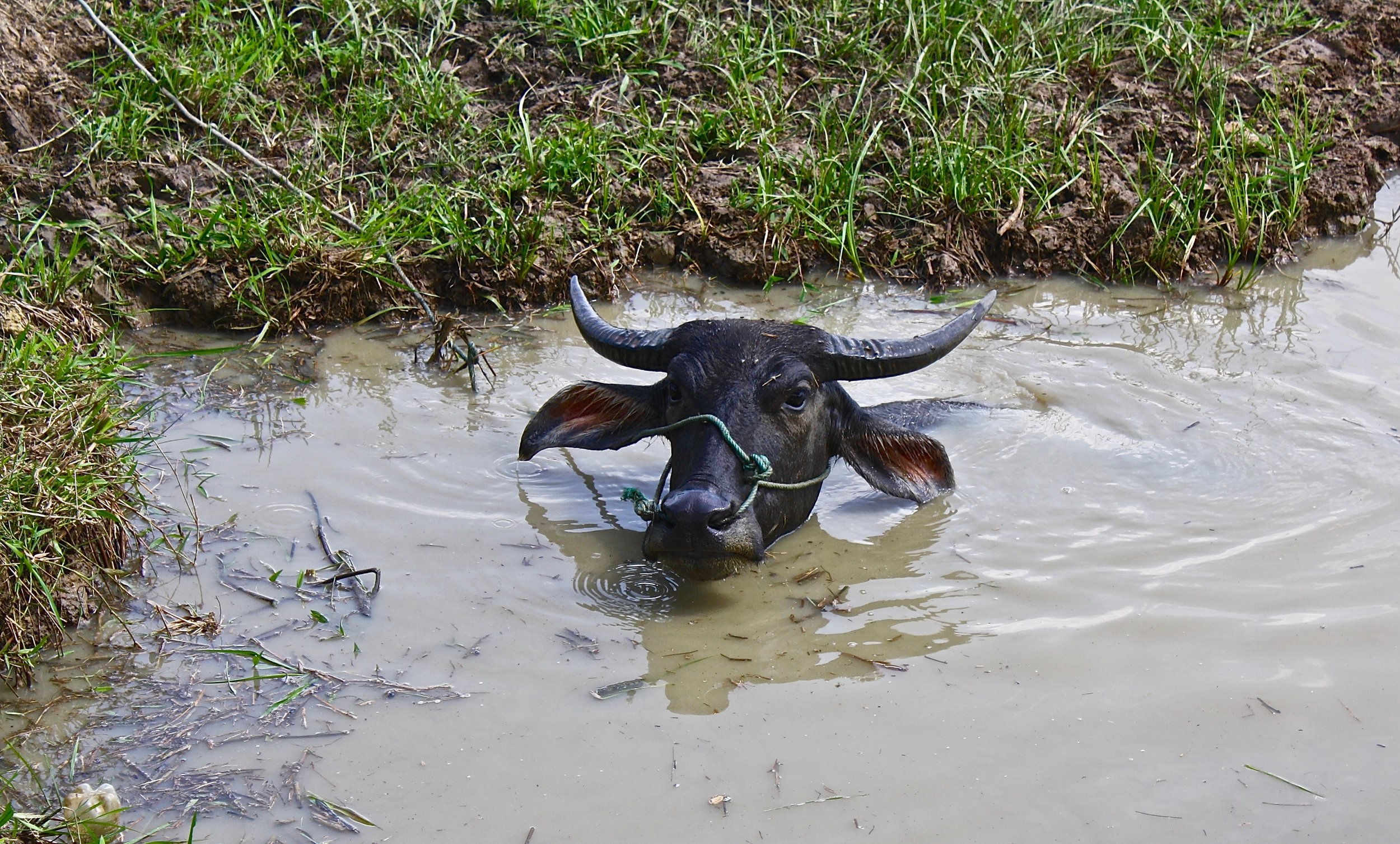 A water buffalo submerged in water on a 109F (43C) day in central Myanmar.