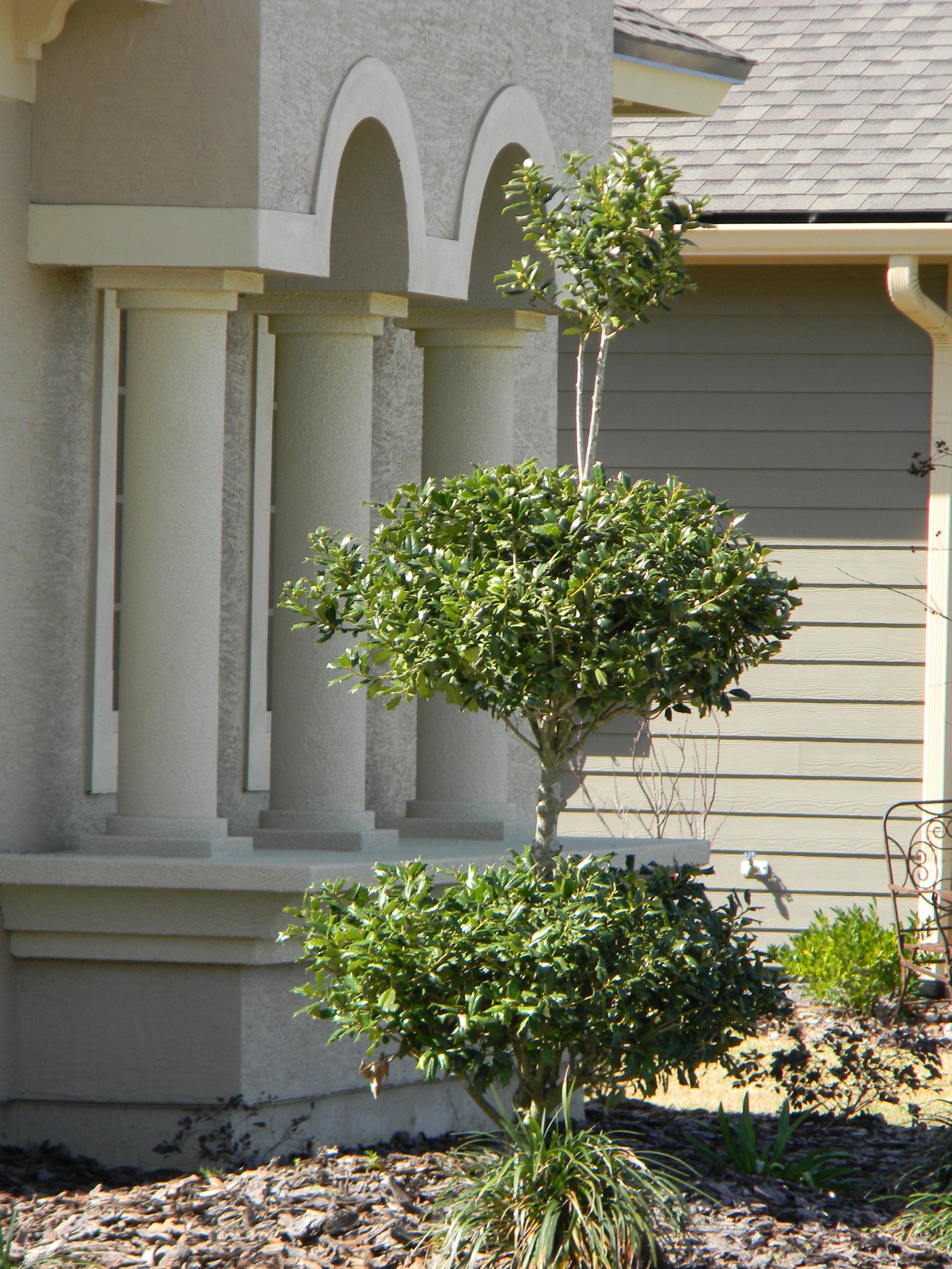 Holly Topiary