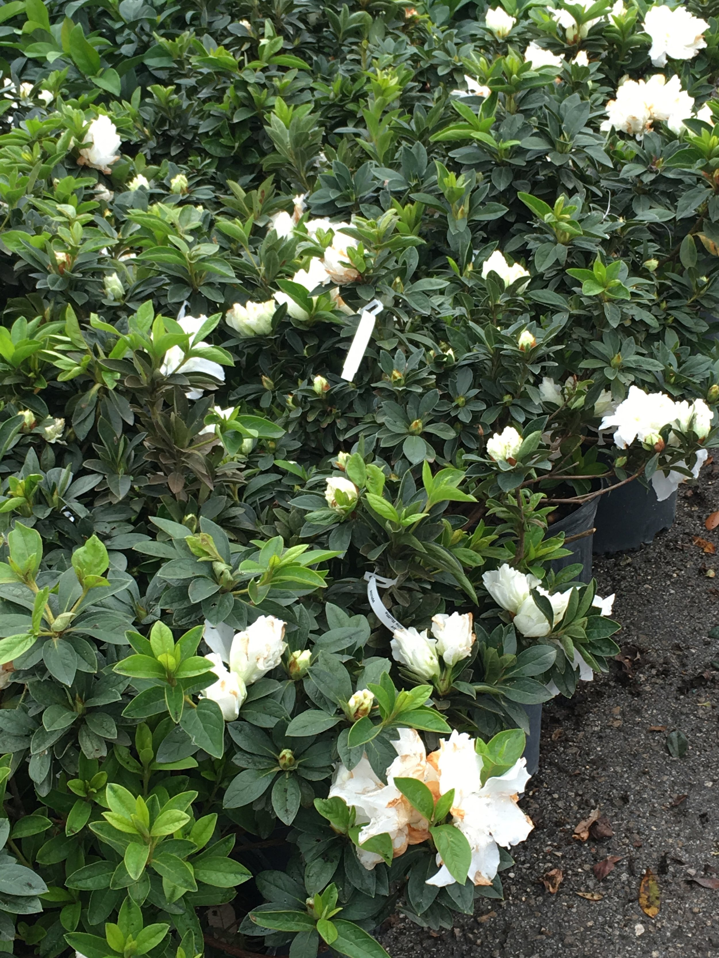 White Ruffle Azalea