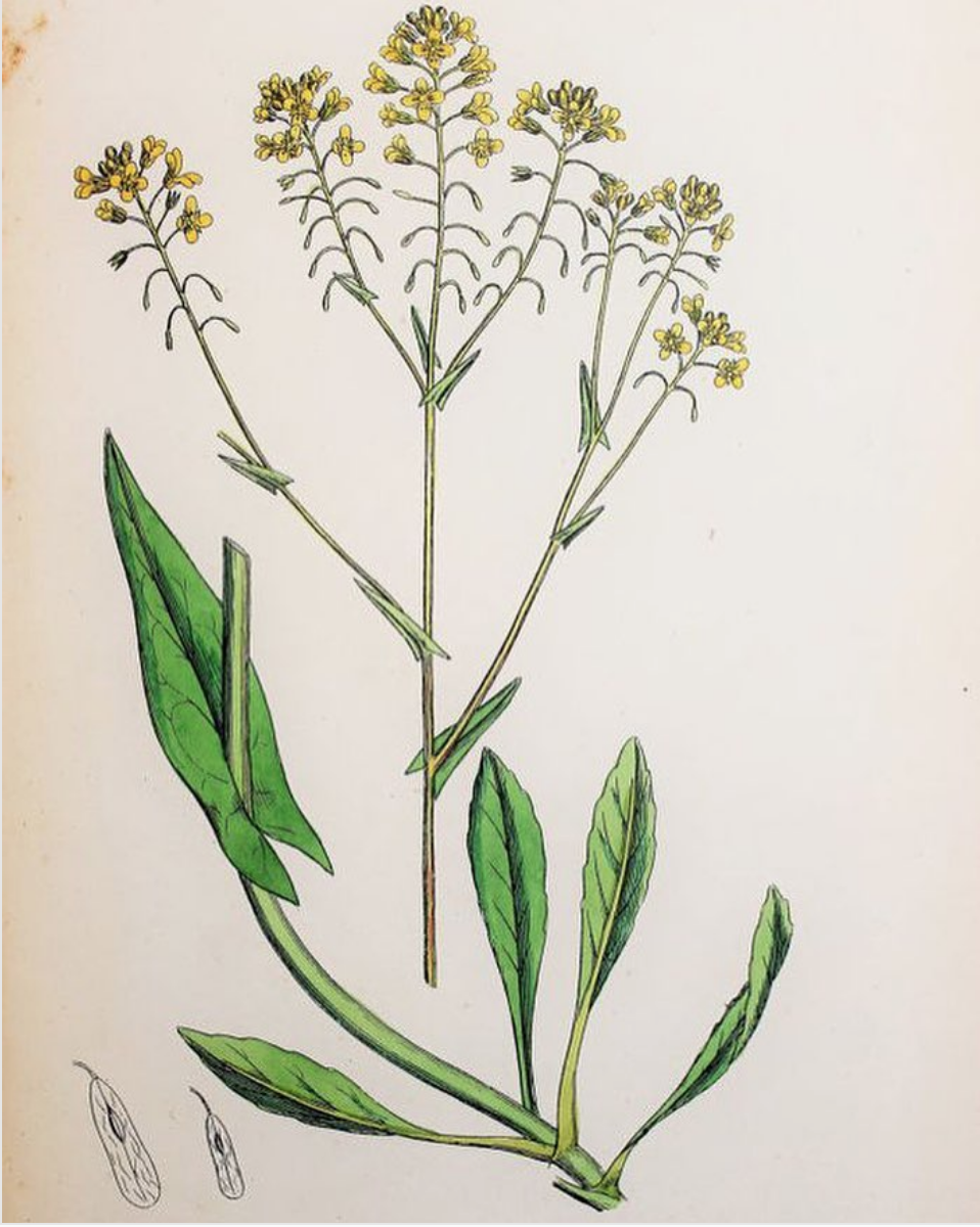 Woad botanical drawing. Image sourced from  here.