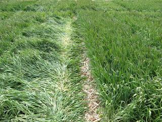 Figure 3. Declining wheat stands following the 2007 spring freeze event. Photo: Bill Bruening.