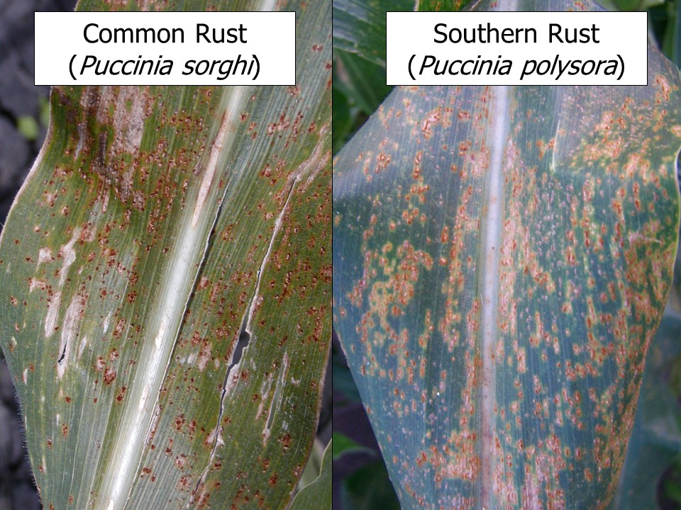 Fig. 1. Common rust and southern rust may be difficult to differentiate in the field, but a free online  video can show some tips in identifying these diseases (Photos: Carl Bradley).