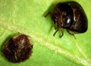 Figure 1. Immature and adult Kudzu bug (Photo: Raul T Villanueva, UK)
