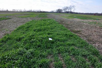 A cover crop research plot at UK's Spindletop Research Farm   PHOTO: Erin Haramoto